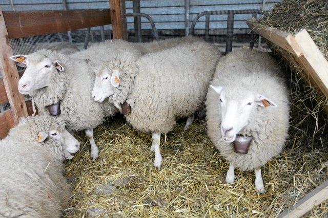 """Jeden z zarzutów wobec """"owiec""""? Owczy pęd"""