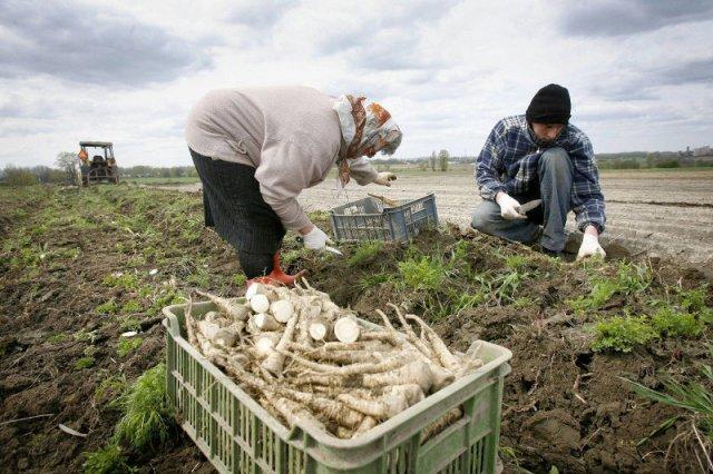 Największe absurdy Unii Europejskiej – polscy urzędnicy utrudniają życie rolnikom
