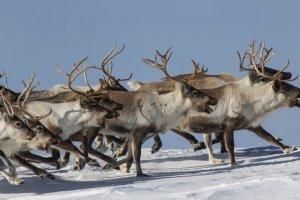 Szykuje się rzeź reniferów na Syberii. Przez epidemię wąglika może zginąć 250 tys. zwierząt