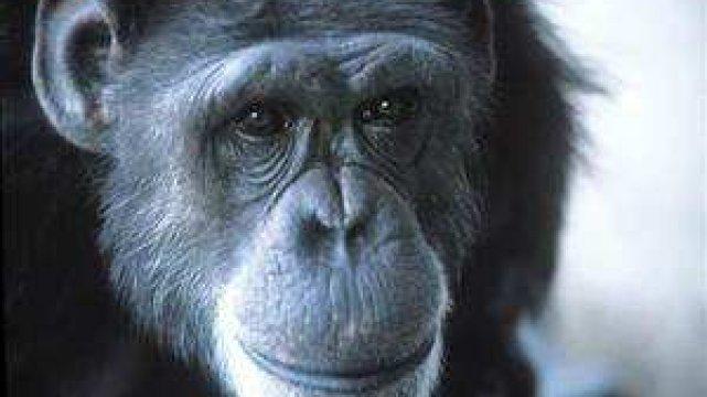testowane na zwierzętach szympans nim i inne ofiary