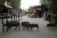 Dziki w miastach pojawiają się coraz częściej. Na zdjęciu - wizyta stada dzików w okolicach cmentarza w Poznaniu