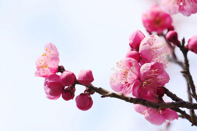 [url=http://shutr.bz/1fJEfK8] Różowy kwiat moreli japońskiej ume [/url]