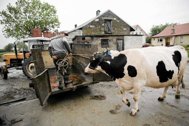 Przeciętny polski producent mleka ma w stadzie 6 krów, holenderski - 140, niemiecki - 46