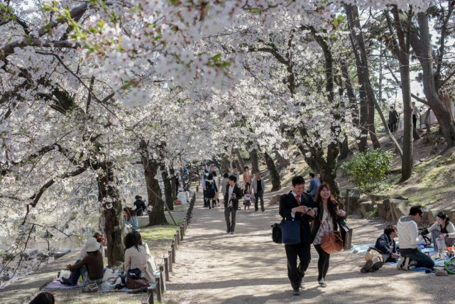 [url=]http://shutr.bz/Oay8Ha] W parku Shukugawa w Hyogo [/url] rośnie około 1660 drzew wiśniowych.